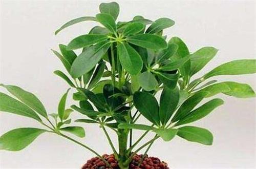 鸭掌木落叶怎么救治,可更换盆土或严格控水