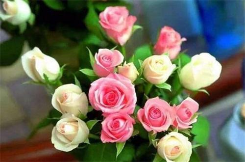 盆栽玫瑰花叶子发黄,适当光照冬季保暖