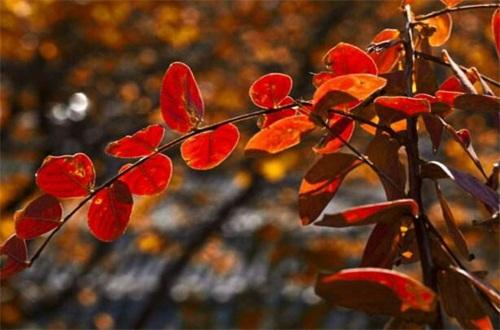 香山红叶最佳观赏时间