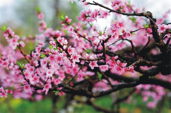 桃花盛开是什么季节,花期在春季3~4月