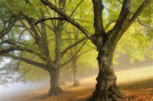 菩提树是什么树,多数为桑科类的常绿树种