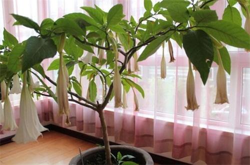 盆栽曼陀羅怎么養護,定期換盆處理還要水肥合理