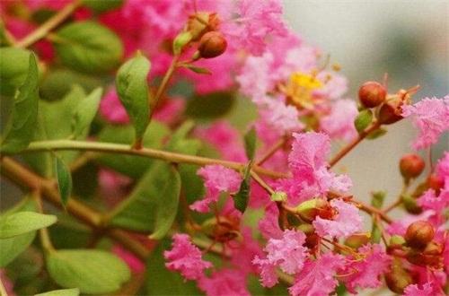 紫薇如何修剪,可花枝短截和密枝疏剪