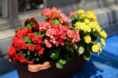 玫瑰花冬天会掉叶子吗,符合生长规律会落叶