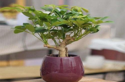 鸭掌木换盆用剪拫吗,生长3年以上需剪根