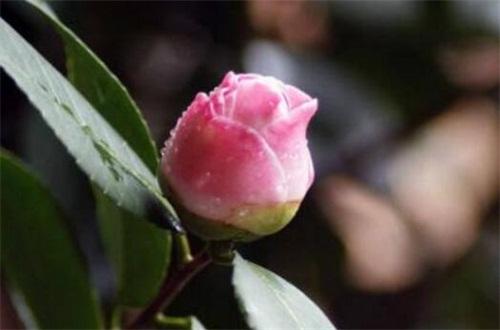 茶花花骨朵干枯的原因,缺乏光照养分不足导致