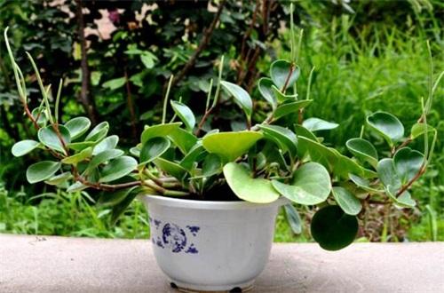 碧玉植物怎么养施肥