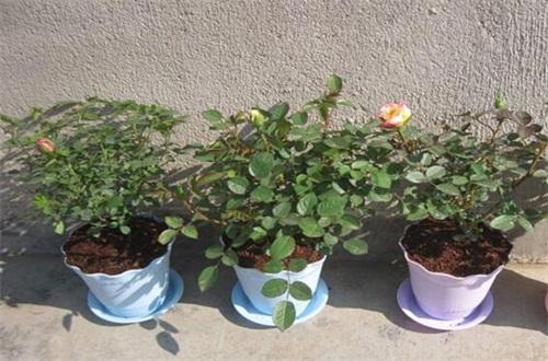 冬天玫瑰花掉叶子是怎么回事,低温冻伤浇水不当