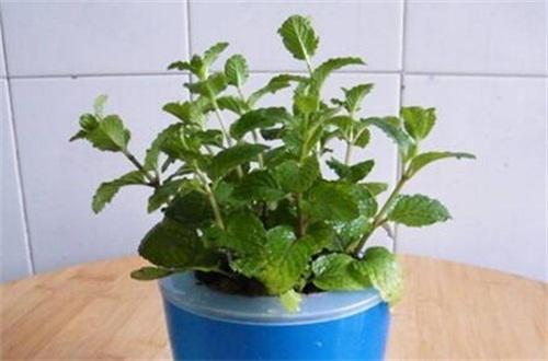 盆栽柠檬什么时候打顶,幼苗时期打顶修剪