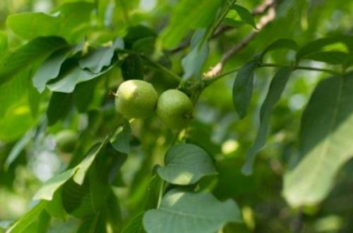 盆栽核桃树技巧,施加底肥并散光照射
