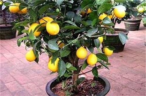 盆栽柠檬叶子干边,遮阴防晒增添肥料