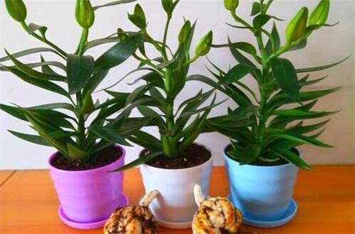 百合花盆栽的养殖方法,薄肥勤施预防病虫危害