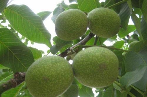 核桃树什么时候浇水,核桃树冬季怎么浇水