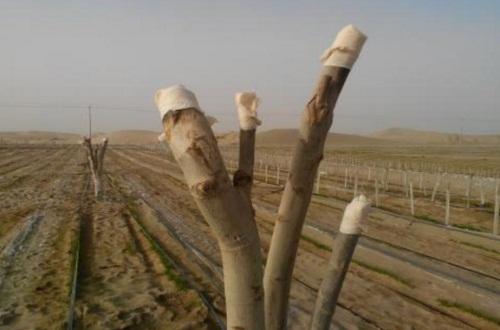 核桃树入冬前管理,修剪密枝并树干涂白