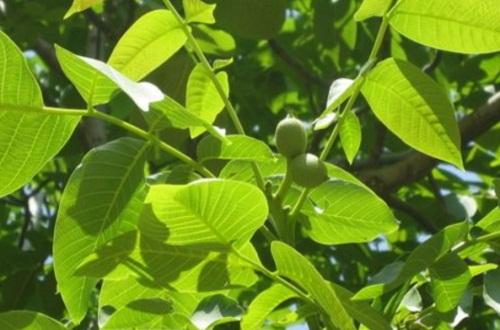 1一4年核桃树如何修剪,分层修剪并处理背后枝