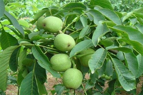 核桃树最怕什么,除草剂影响根须生长