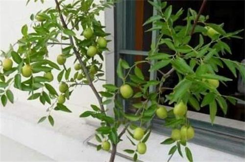 核桃树如何管理,充足阳光增加果实产量
