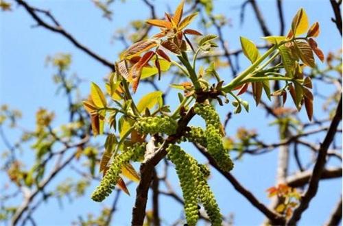 核桃树花前打什么药,氧化乐果预防蚜虫危害