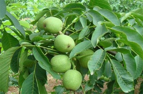 种核桃树怎么管理,核桃树的管理方法