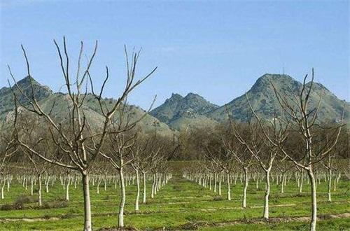 核桃树的修剪图解,春秋季修剪有利伤口愈合