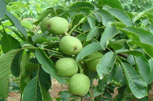 核桃树水肥管理,幼苗期间大量浇水追施肥料