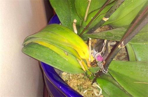 蝴蝶兰几月份长花剑,蝴蝶兰叶不平整是什么原因
