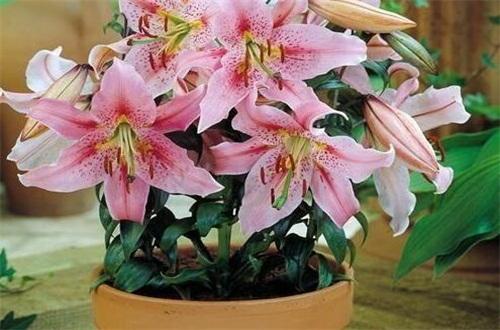 香水百合一年开几次花,不同条件下开花次数不同