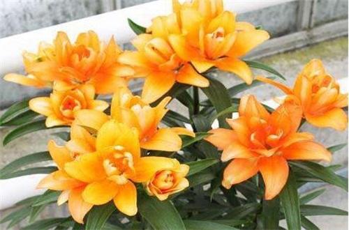 百合花后养护方法,减少水肥适当修剪