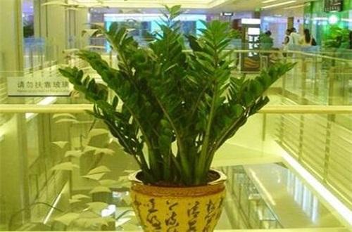 金钱树球茎怎么处理,球茎消毒水培养护