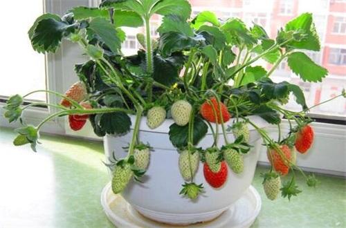 家庭阳台草莓种植方法,催芽处理后入土栽种