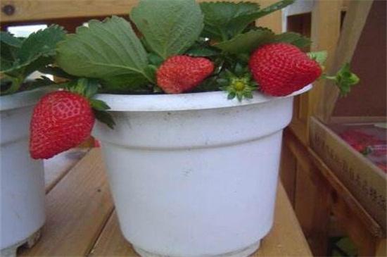 盆栽草莓养护要点,4个要点教你养爆盆