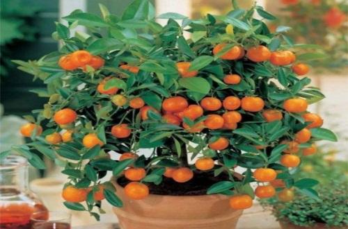 北方盆栽桔子树怎么养,合理修剪并温度适宜