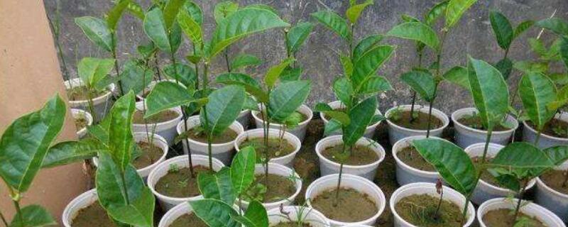 菠萝蜜盆栽可以结果吗