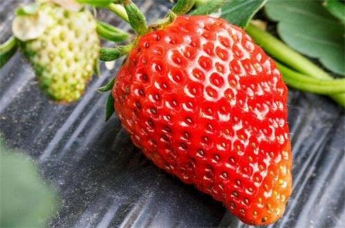 一亩大棚草莓利润多少,每亩利润可高达1~3万元左右