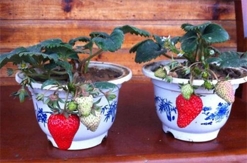 草莓移栽生根要几天,浇水保湿可7天左右生根