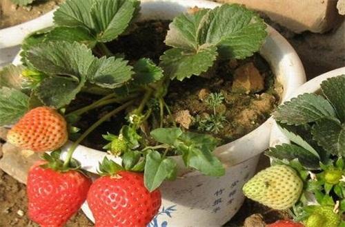 草莓爆盆方法,薄肥勤施光照充足