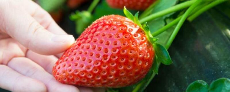 草莓当季是什么时候
