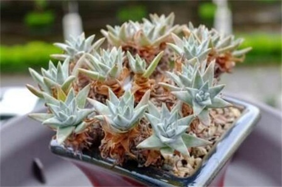 多肉白菊一年能长多大