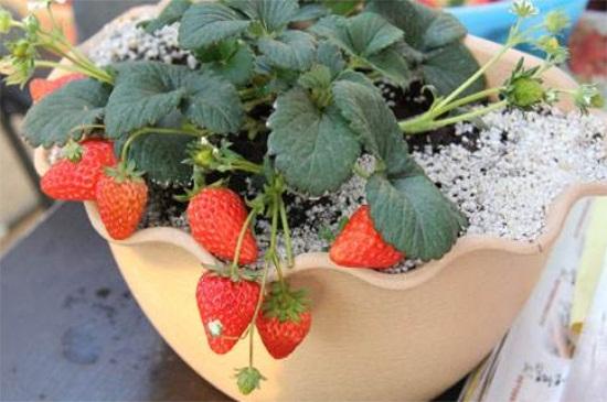 盆栽草莓怎么过冬