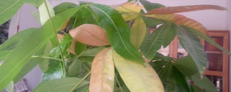 发财树怎么绿植屋叶尖焦了