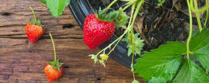 家里可以种草莓吗
