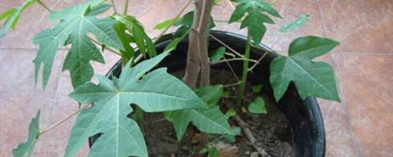 木瓜什么时候种