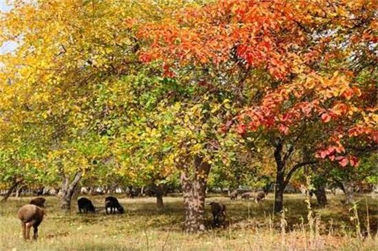 苹果树冬天落叶吗