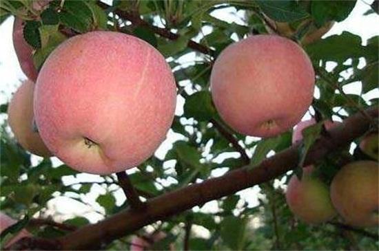 苹果树修剪口诀