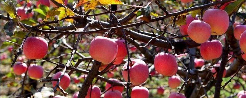 苹果树一年施几次肥