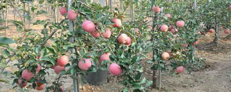 苹果树移栽时间