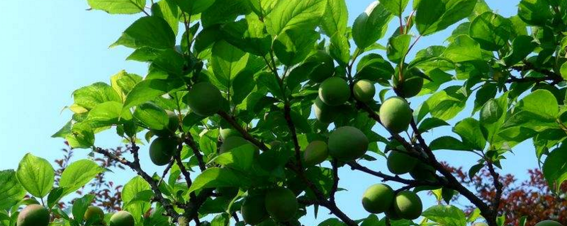 梅树跟梅花树的区别