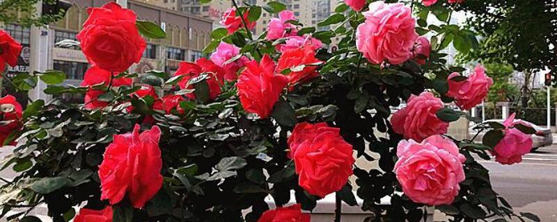 十三朵玫瑰花的花语
