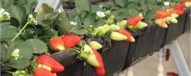 种草莓用什么土