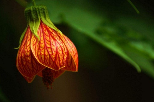 四季灯笼花的养殖方法